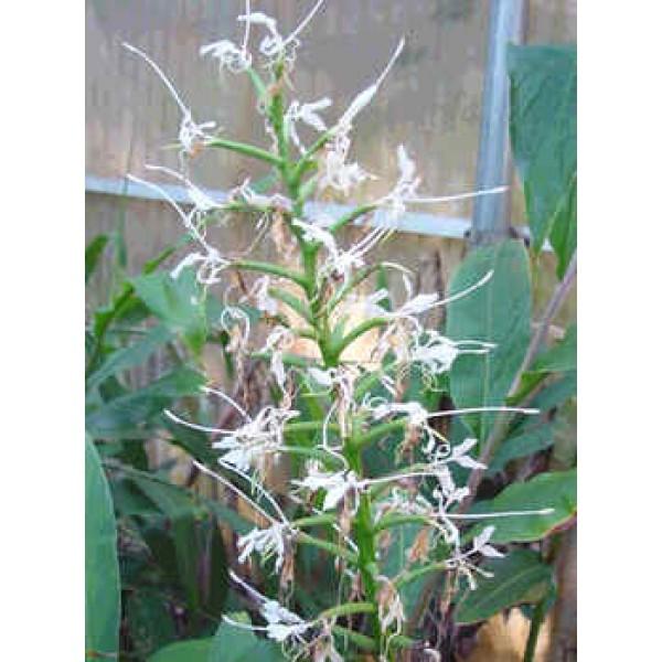 Gingembre Étoile Blanche - (Hedychium Stenopetalum)