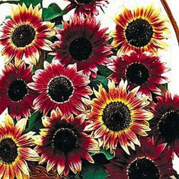Graines Helianthus Ruby Eclipse (Graines Tournesol, Grand Soleil)
