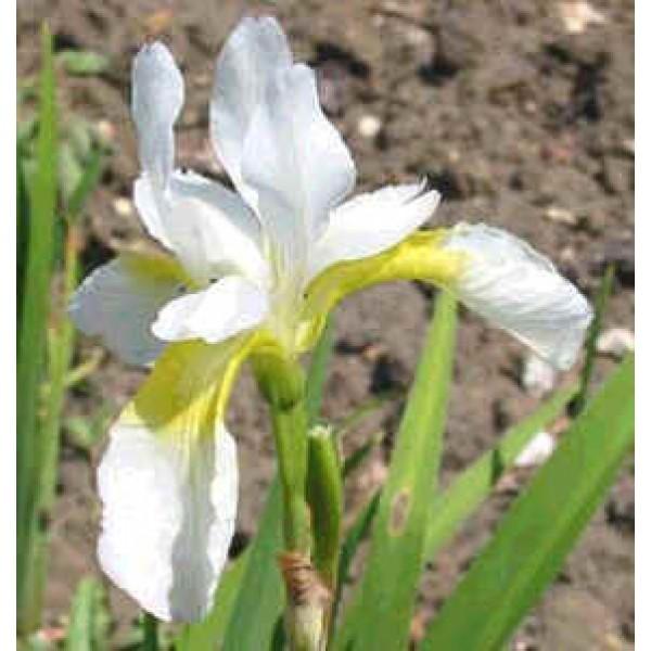 Graines Iris Sanguinea Snow Queen