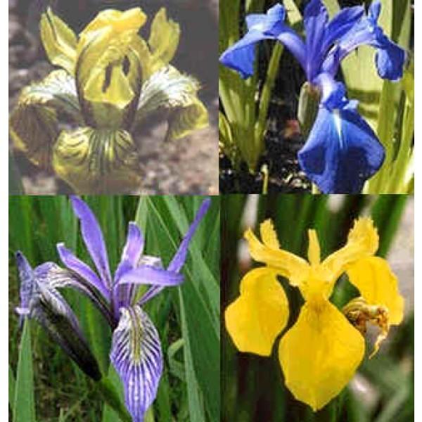 Graines Iris (En Mélange)