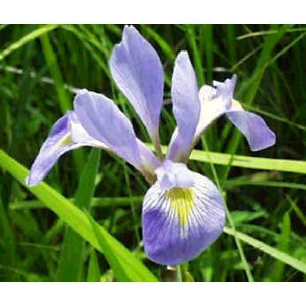 Graines Iris Virginica Shrevei