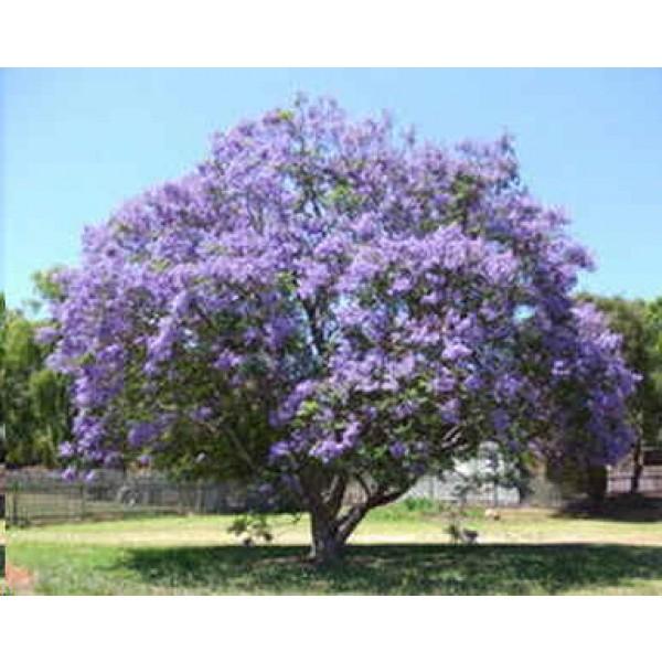 Graines Jacaranda Mimosifolia (Flamboyant Bleu)