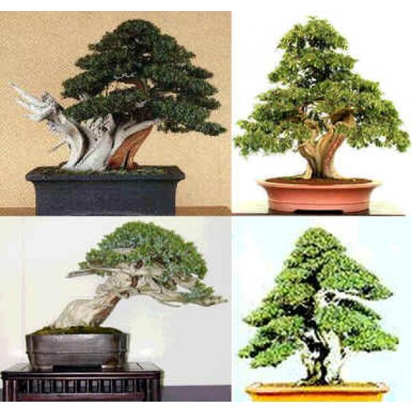 Graines Genévrier Rigide (Graines Juniperus Rigida) sur Rarexoticseeds.com