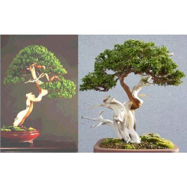 Graines Juniperus Sabina (Graines Genévrier Sabine)