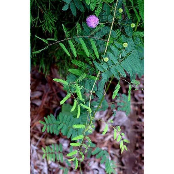 Graines Mimosa Quadrivalvis Nuttallii (Graines Schrankia Quadrivalvis Nuttallii)