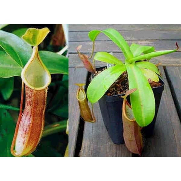 Nepenthes Sanguinea  (Nepenthes de Haute Altitude)