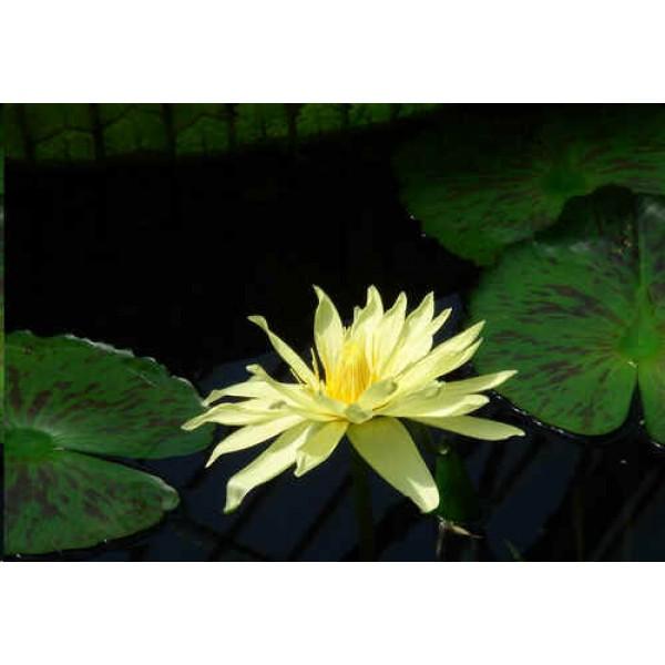 Graines Nymphaea Eldorado (Graines Lotus Jaune)