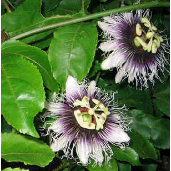Graines Passiflora Edulis Flavicarpa (Passiflore Jaune)