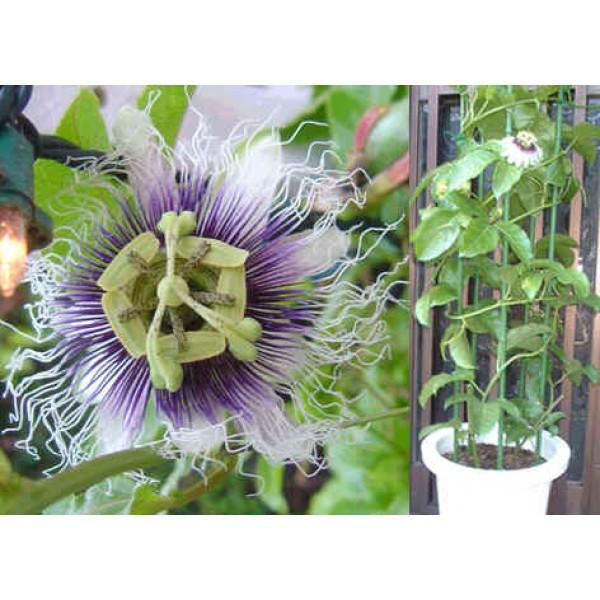 Passiflora Edulis (Passiflore Mauve)
