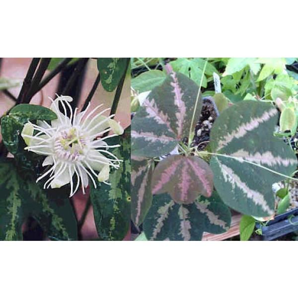 Graines Passiflora Trifasciata (Fruit de la Passion, Fleur de la Passion)