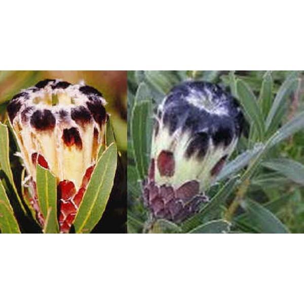 Graines Protea Lepicarpodendron