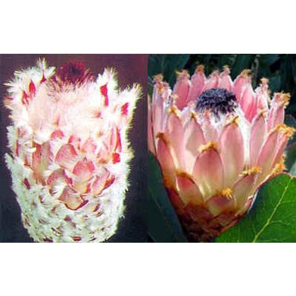 Graines Protea Magnifica (Reine Protea)