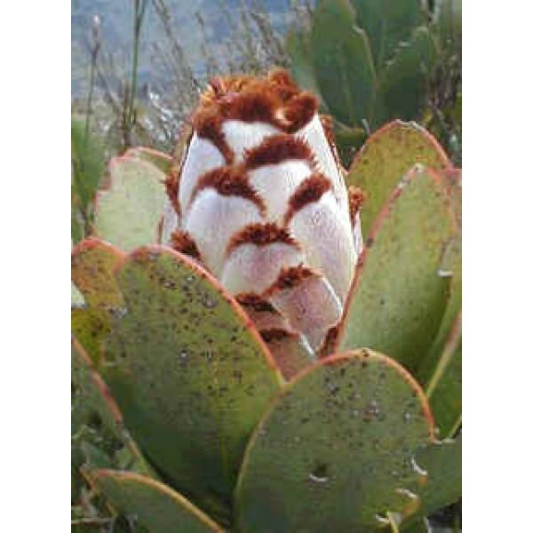 Graines Protea Speciosa