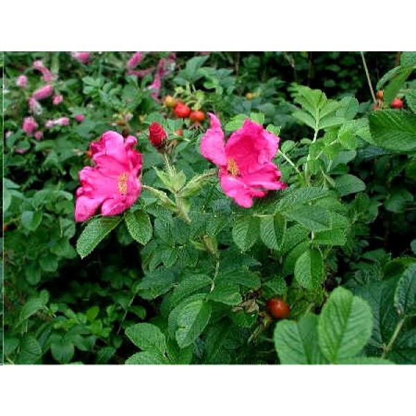 Graines Rosa Rugosa Rose (Graines Rosier Rugosa, Graines Rosier Japonais)