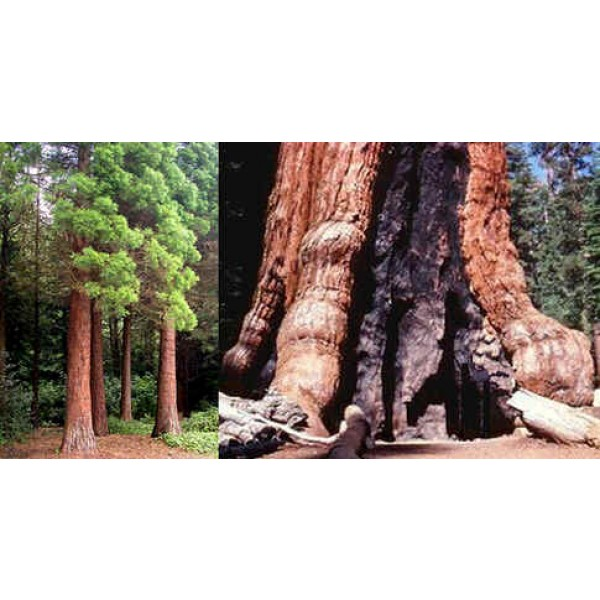 Graines Sequoiadendron Giganteum (Graines Séquoia Géant)
