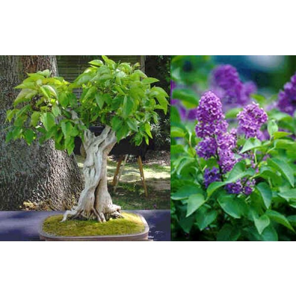 Graines Syringa Vulgaris (Graines Lilas Commun)