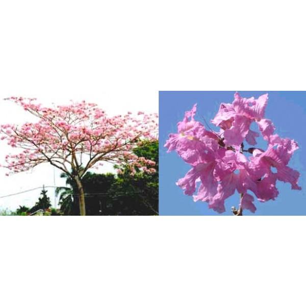 Graines Tabebuia Rosea (Graines Lapacho, Graines Tabebuia Rose)