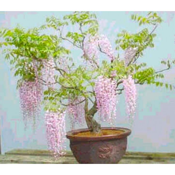 Graines Wisteria Floribunda (Graines Glycine du Japon)