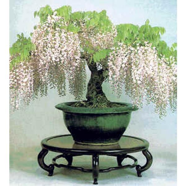 Graines Wisteria Sinensis Alba (Graines Glycine de Chine Blanc)