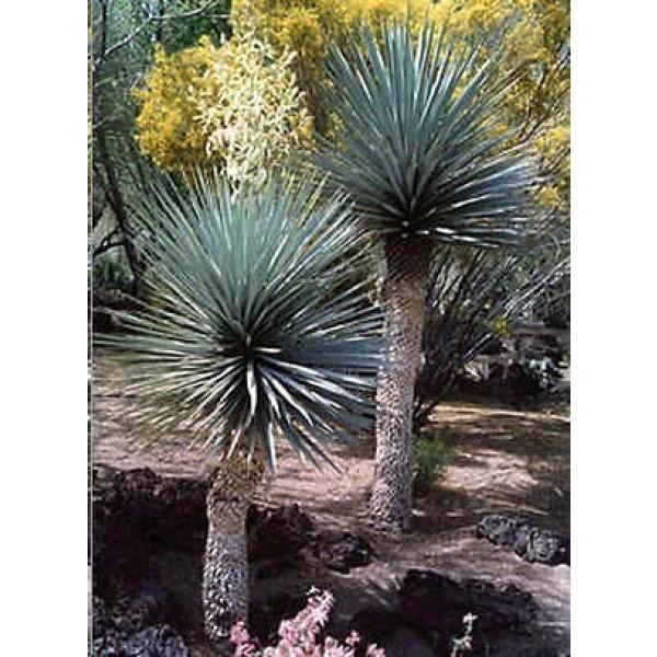 Graines Yucca Rigida (Graines Yucca Rigide)