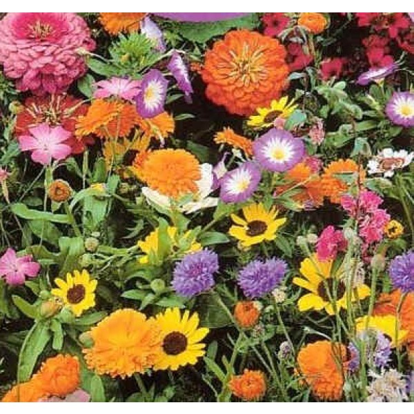 Graines Fleurs Sauvages : Fleurs Courtes (Mélange de Graines de Fleurs Courtes)