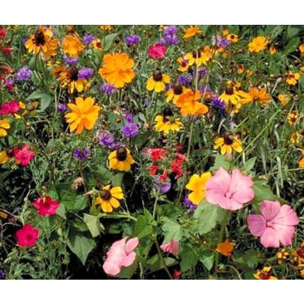 Graines Fleurs Sauvages : Sud Est Américain (Mélange de Graines de Fleurs Sud-Est, Amérique)