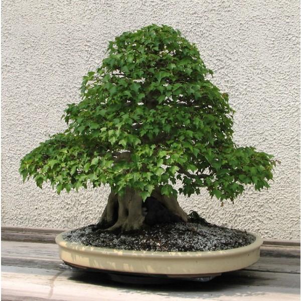 Acer Buergerianum (Érable Trident, Érable de Buerger)