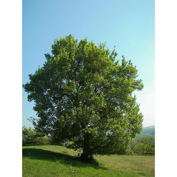 Graines Acer Campestre (Érable Champêtre)