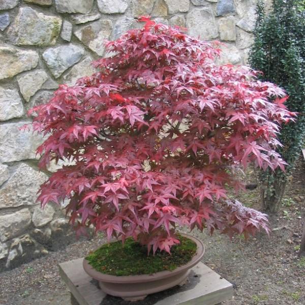 Graines Acer Palmatum Atropurpureum