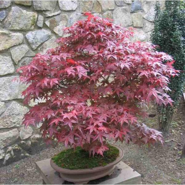 Graines Acer Palmatum (Érable Palme, Érable du Japon)