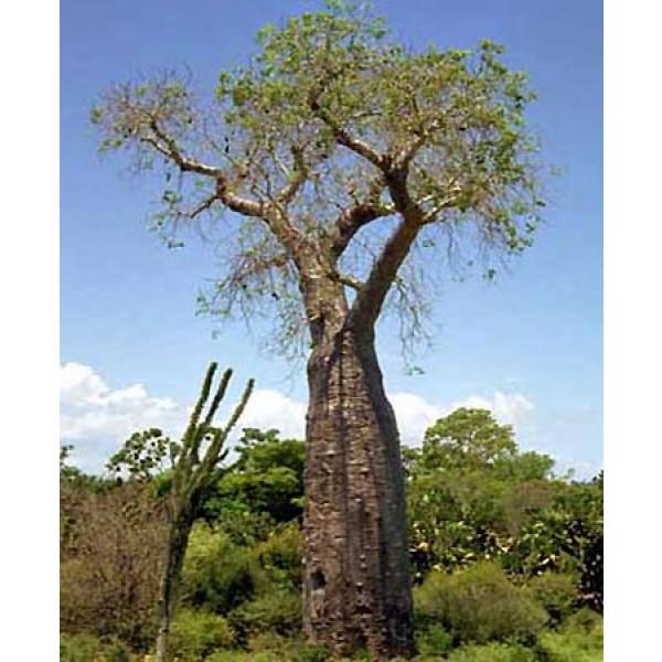 Adansonia Perrieri (Baobab de Perrier)