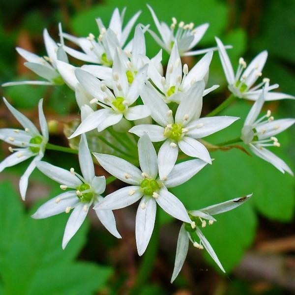 Graines Allium Ursinum (Graines Ail des Ours, Graines Ail Sauvage)