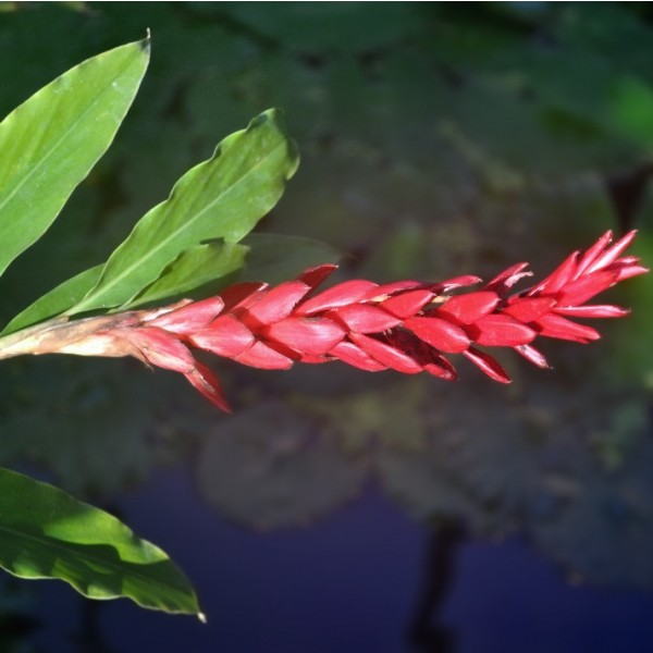 Graines Alpinia Purpurata (Gingembre Rouge)