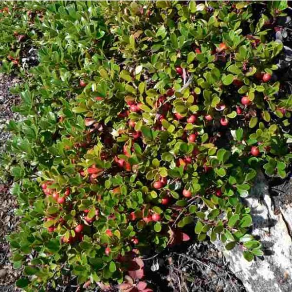 Graines Raisin d'ours, Busserole (Arctostaphylos uva-ursi)