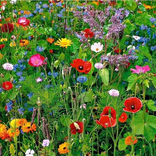 Graines Fleurs Sauvages (Graines Plantes pour Oiseaux et papillons) (Graines en Mélange)