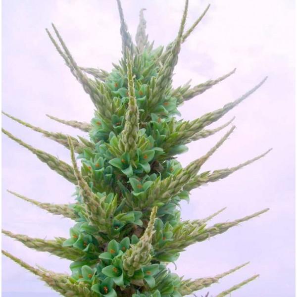 Graines Puya Berteroniana (Puya Bleu, Graines Bromeliacée)