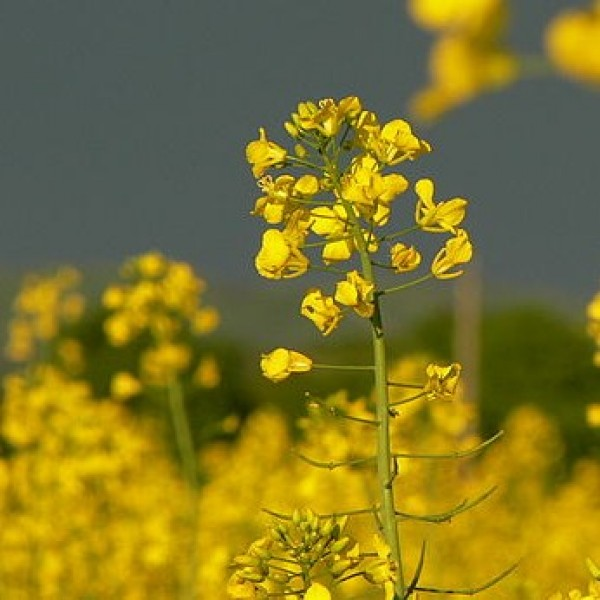 Graines Brassica Juncea (Graines Moutarde Brune)
