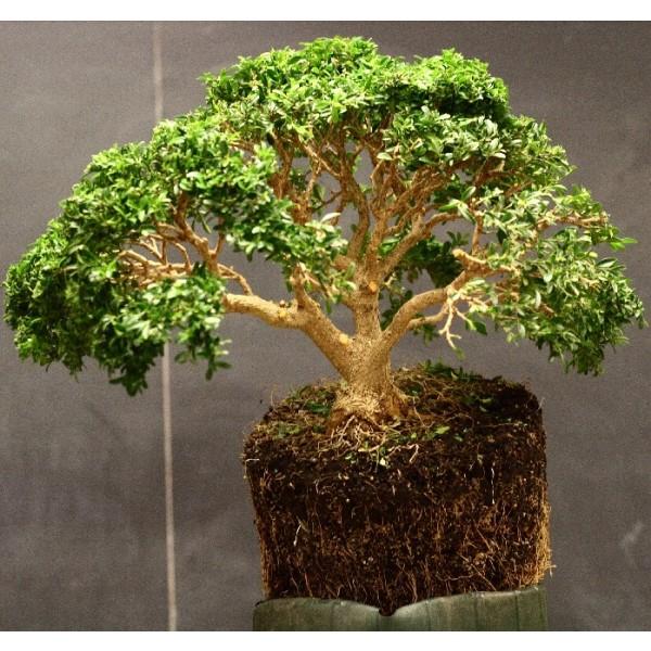 Buis toujours vert - Bonsai ( Buxus sempervirens )