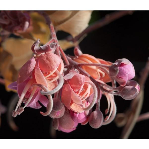 Graines Cassia grandis (Graines Bucut)