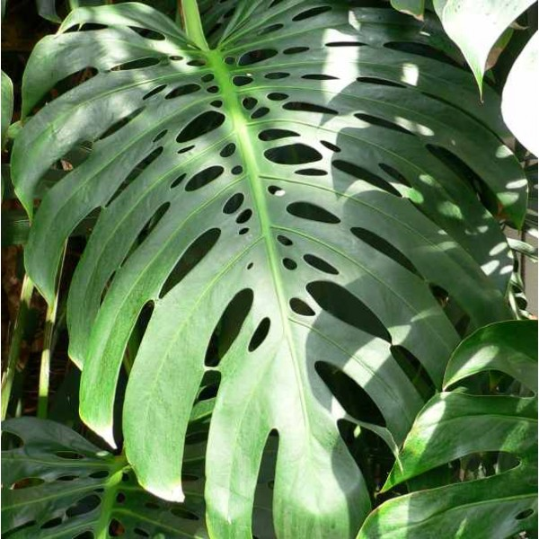 Graines Faux Philodendron