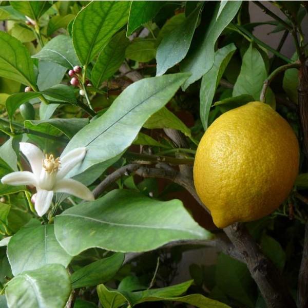 Graines Citronnier (Citrus limon)
