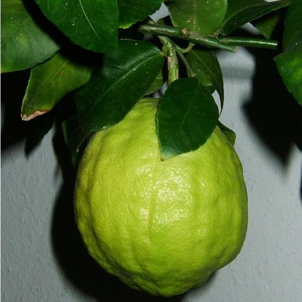 Graines Citrus Medica (Graines Cédratier)