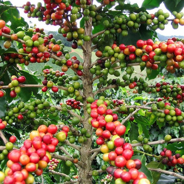 Graines Coffea Arabica (Graines Caféier d'Arabie)