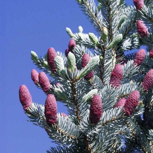 Graines Épicéa Bleu (Picea pungens)