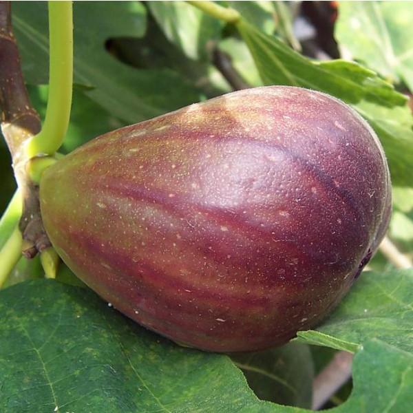 Graines Ficus Carica (Graines Figuier Commum, Figuier Comestible)
