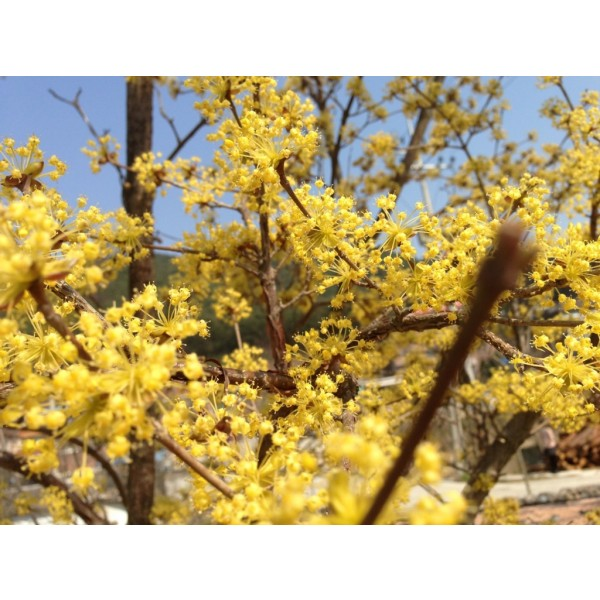 Cornouiller Officinal (Cornus officinalis)