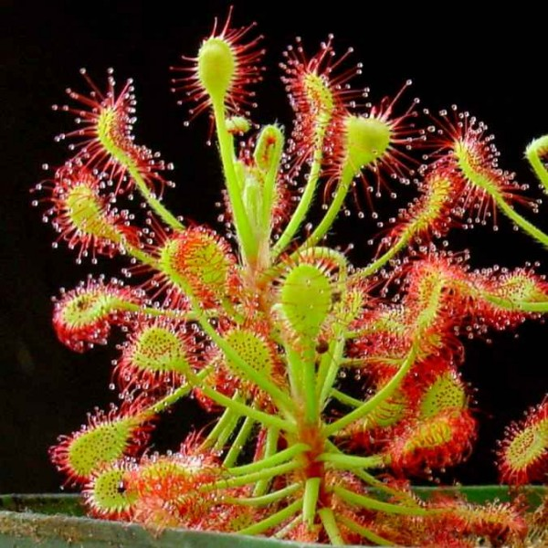 Graines Drosera Madagascariensis