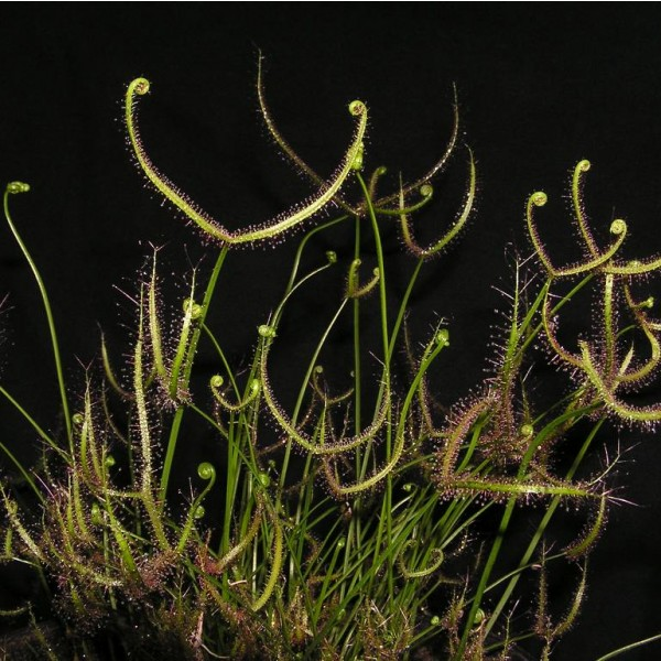 Drosera Binata Seeds (The Forked Sundew)