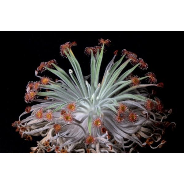 Graines Drosera Ordensis (Petiolaris-Complexe)