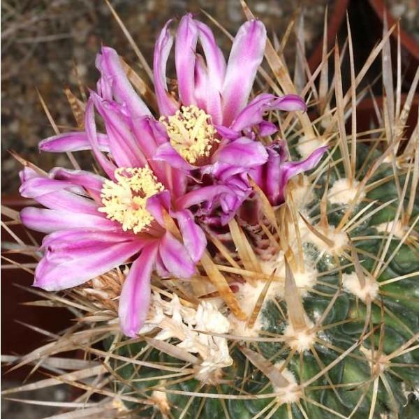Echinofossulocactus Crispatus